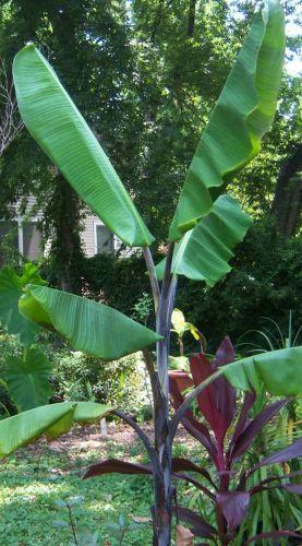 Musa balbisiana atia black Cold hardy Thai Banana seeds