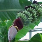 Musa balbisiana cv sikkimensis Darjeeling Banane winterhart Samen