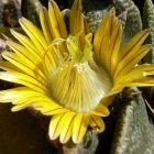 Nananthus transvaalensis  semillas