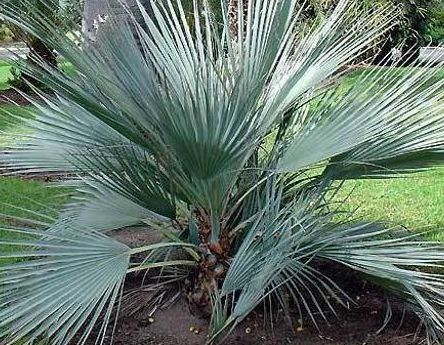 Nannorrhops arabica Silver Silver Mazari Palm seeds