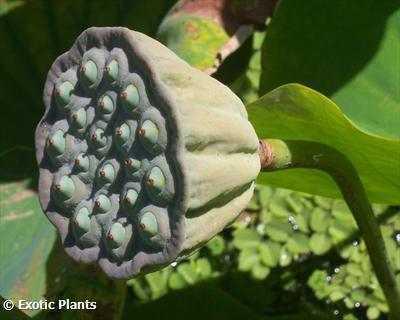 Nelumbo nucifera sacred lotus seeds