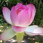Nelumbo nucifera indische Lotusblume Samen