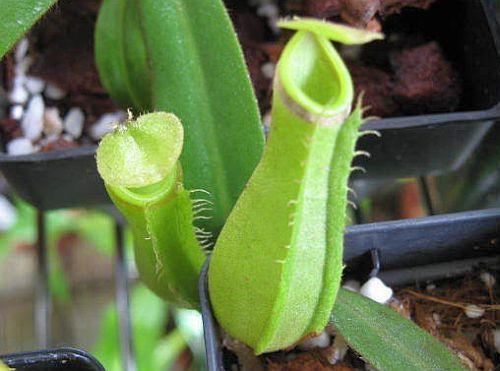 Nepenthes albomarginata purple green var. giant pitcher plant seeds