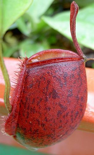 Nepenthes ampullaria all red var. giant pitcher plant seeds