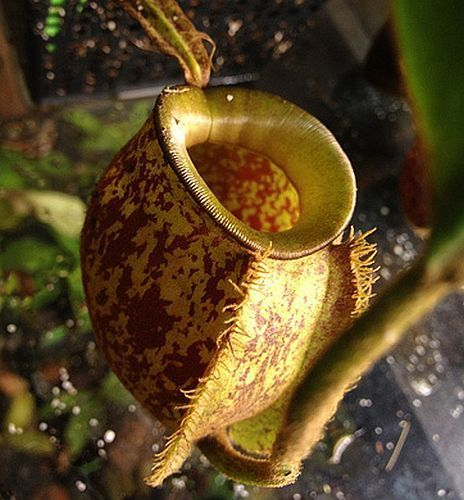 Nepenthes ampullaria brown speckle yellow lips pitcher plant seeds