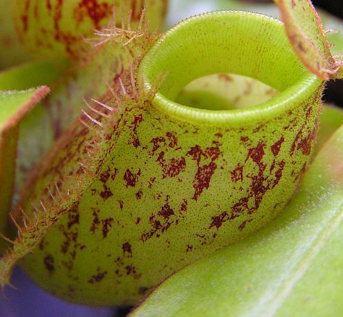 Nepenthes ampullaria orange speckle green lips pitcher plant seeds