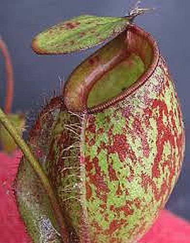 Nepenthes ampullaria red green lips pitcher plant seeds