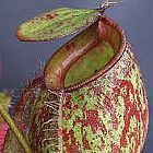Nepenthes ampullaria red green lips