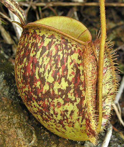 Nepenthes ampullaria tricolor pitcher plant seeds