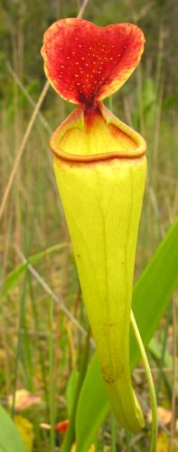 Nepenthes madagascariensis Madagascar Pitcher Plant seeds