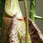 Nepenthes rafflesiana rainbow speckle var. giant