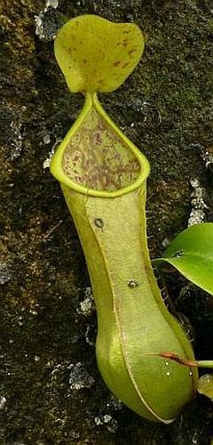 Nepenthes tobaica pitcher plant seeds