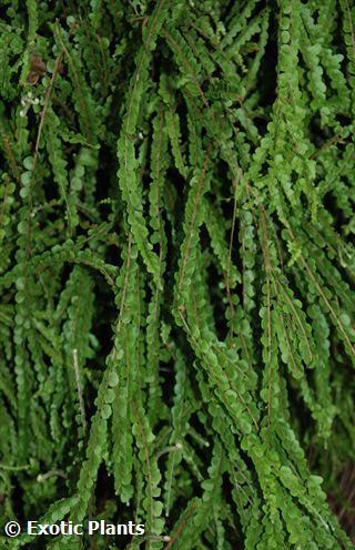 Nephrolepis exaltata Teddy Junior Teddy Junior sword fern seeds