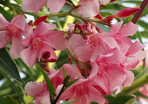 Nerium oleander Oleander seeds