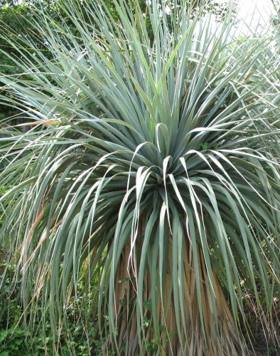 Nolina nelsonii Blue Beargrass Tree - Nelsons Beargrass seeds
