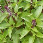 Ocimum basilicum var. cinnamon