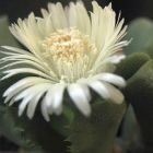 Odonthophorus nanus  semillas