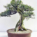 Olea africana olivier sauvage graines