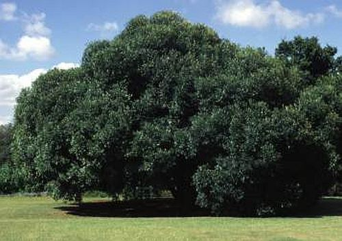 Olea europaea ssp africana wild olive seeds
