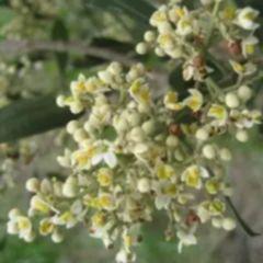Olea exasperata Coast Olive - Dune Olive seeds