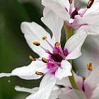 Onixotis stricta lote de agua gigante semillas