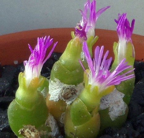 Oophytum nanum Aizoaceae - succulent seeds