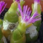 Oophytum nanum  semillas