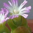 Oophytum oviforme Mesembryanthemum semillas
