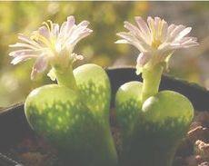 Ophthalmophyllum aff pubescens syn: Conophytum aff pubescens seeds