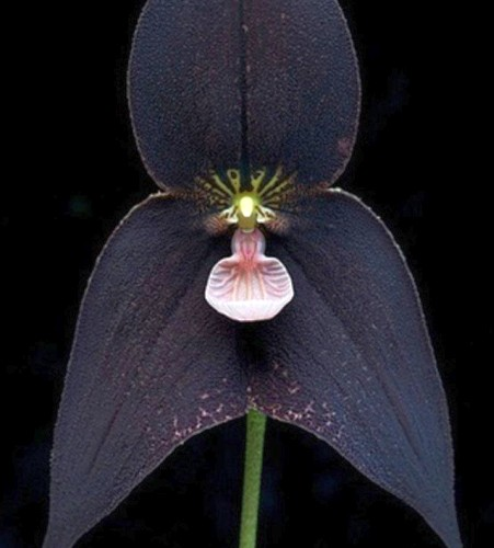 Orchid Monkey Face Black Orchid Monkey Face Black seeds