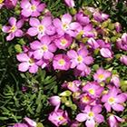 Orphium frutescens Orphium Samen