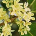 Osmanthus fragrans  cемян
