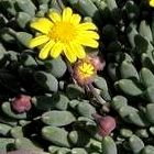 Othonna capensis