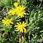 Othonna cylindrica  semi
