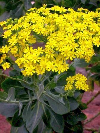 Othonna parviflora caudiciform seeds