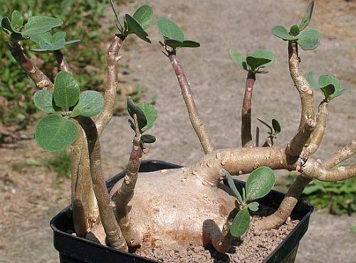 Othonna triplinervia caudiciform seeds