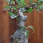 Pachycormus discolor Elefantenbaum - Copalqu?n Samen