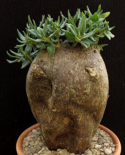 Pachypodium bispinosum Caudiciform seeds