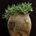 Pachypodium bispinosum  semillas