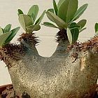 Pachypodium densiflorum