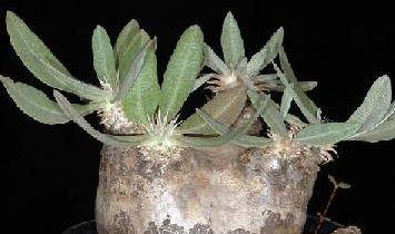 Pachypodium eburneum Caudiciform seeds
