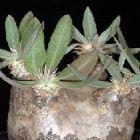Pachypodium eburneum Caudexpflanze Samen