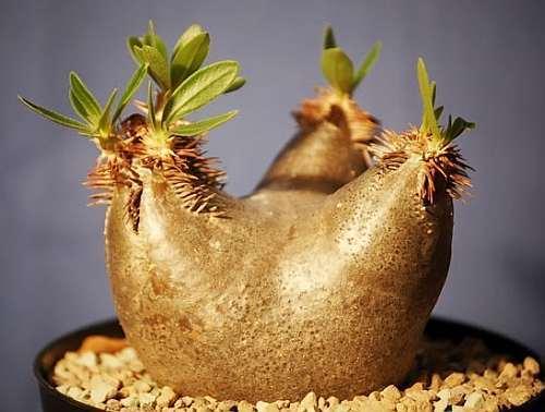 Pachypodium horombense Horombe Clubfoot - Yellow Bell Pachypodium seeds
