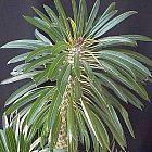 Pachypodium lamerei Madagaskar-Palme Samen