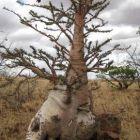Pachypodium lealii Flaschenbaum Samen