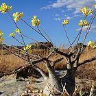 Pachypodium rosulatum var. gracilis palmera de Madagascar semillas