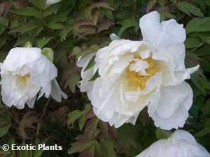 Paeonia lactiflora Chinese Peony seeds
