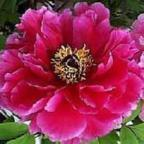 Paeonia suffruticosa ?rbol de peon?as semillas