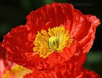 Papaver nudicaule Deluxe Mix Iceland poppy seeds