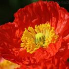 Papaver nudicaule Deluxe Mix  semillas
